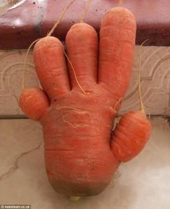 morcovel