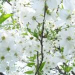 copac-cu-flori-1183