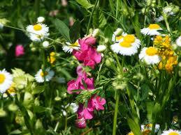 flori de fan